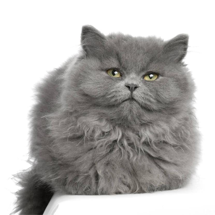 Gato persa gris