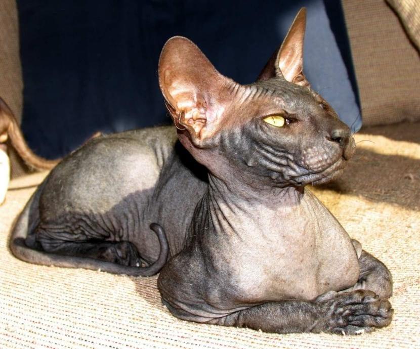 Gato peterbald