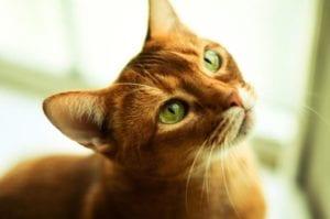 Gato prestando atención