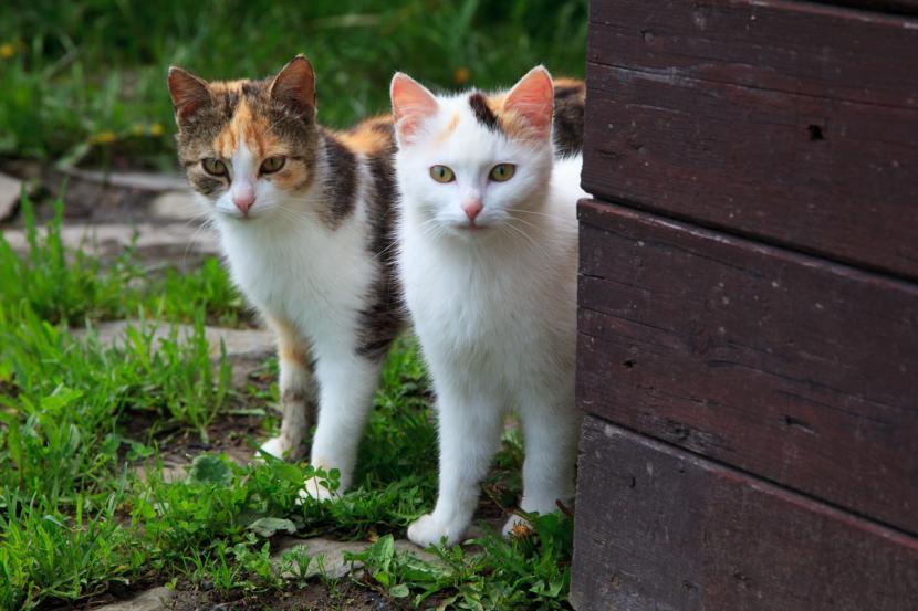 Introduce dos gatos adultos