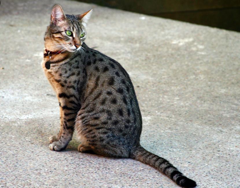 Gato egipcio