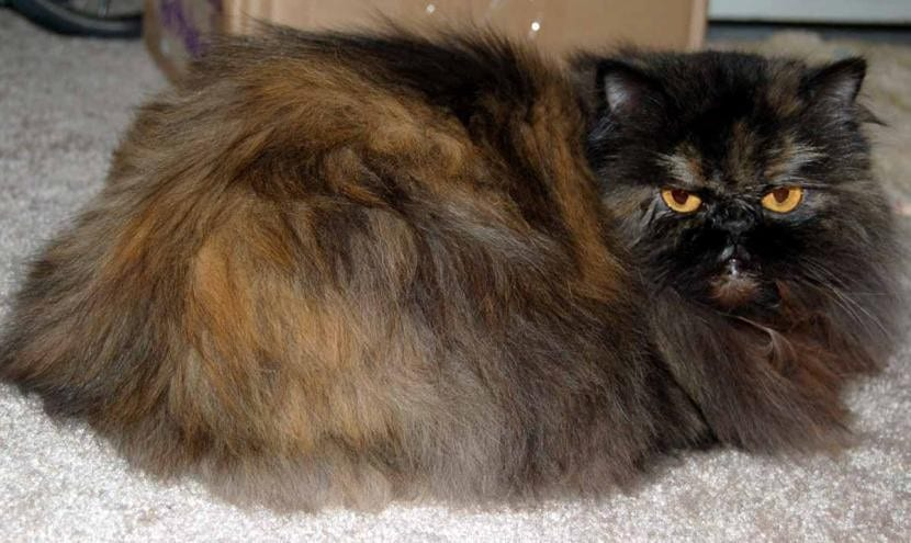 Gato persa tortishell, un peludo de sofá