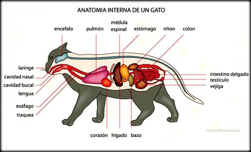 Sistema digestivo de los gatos