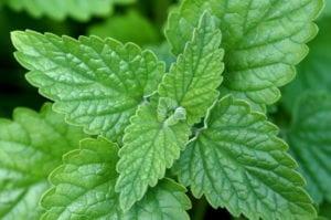 Nepeta cataria o hierba gatera, una planta muy interesante para tu gato