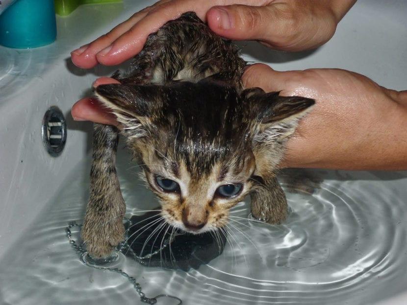 Bañar a un gatito