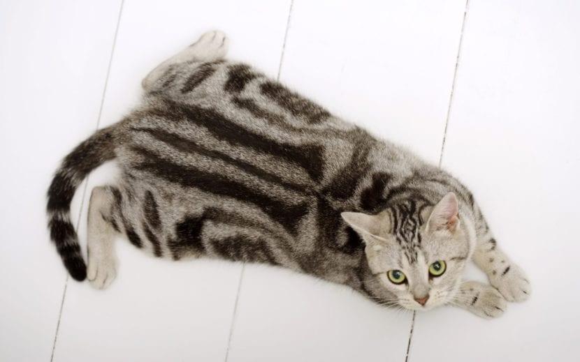 Colores del gato americano
