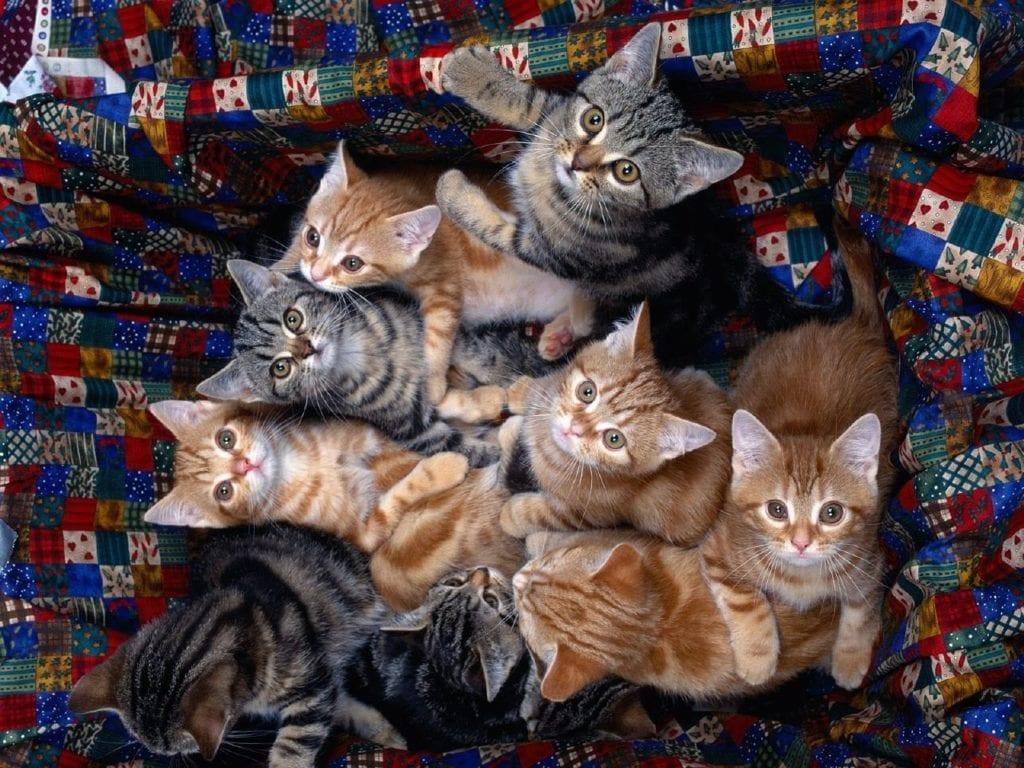 Crías de gatos