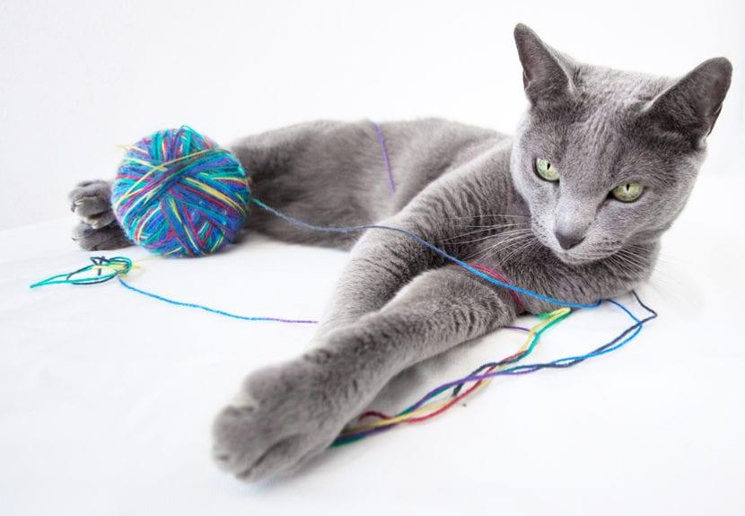Cuidados del gato azul ruso