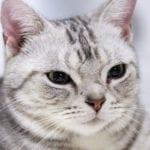 Gatito americano de pelo corto