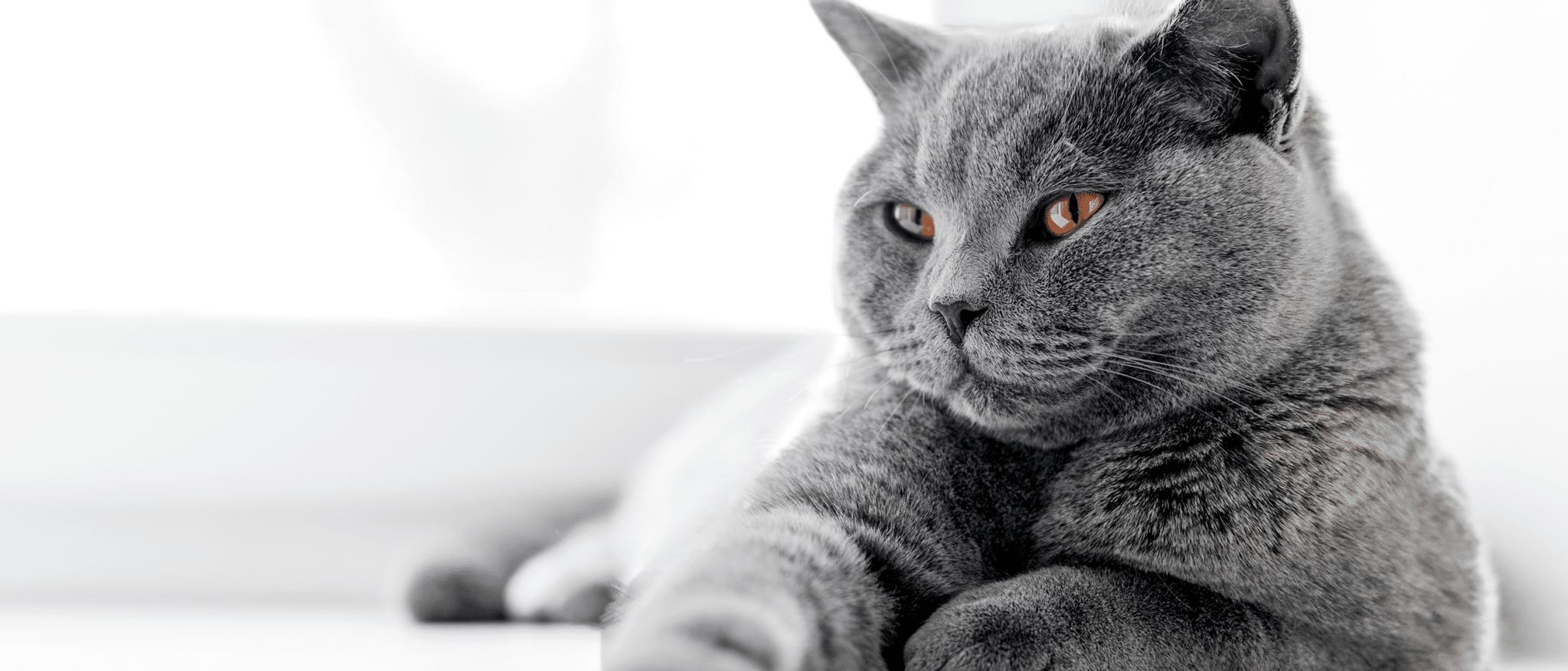 Gato de raza gris