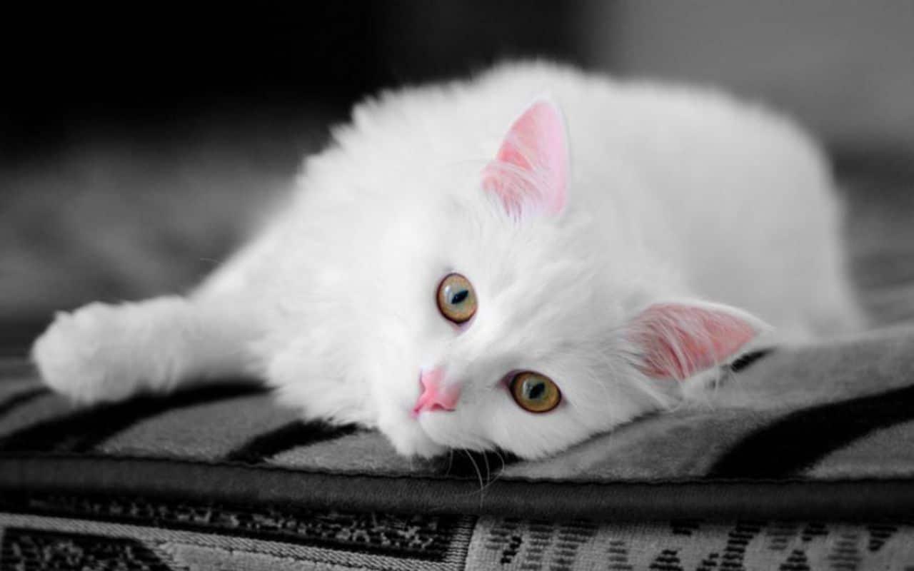 Los gatos blancos pueden ser sordos