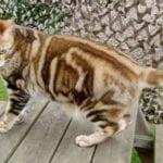 Gato americano de color crema