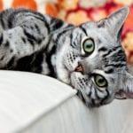 Gato americano mirando a la cámara