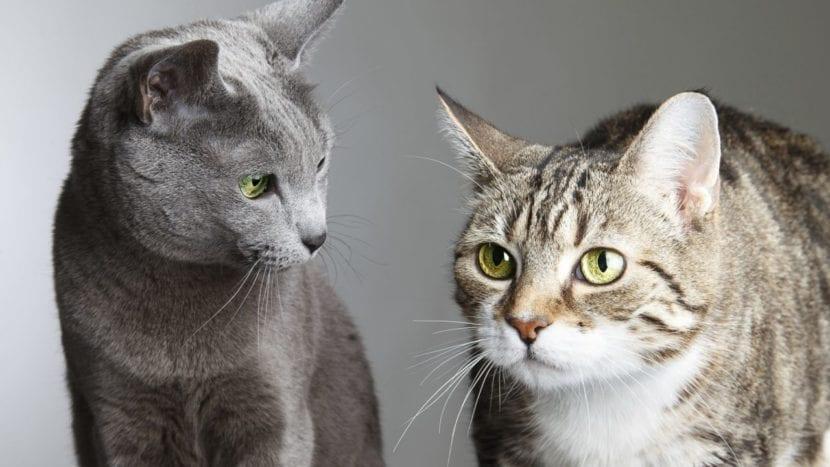 Gato azul ruso con otro gato