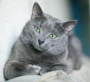 Gato azul ruso tumbado