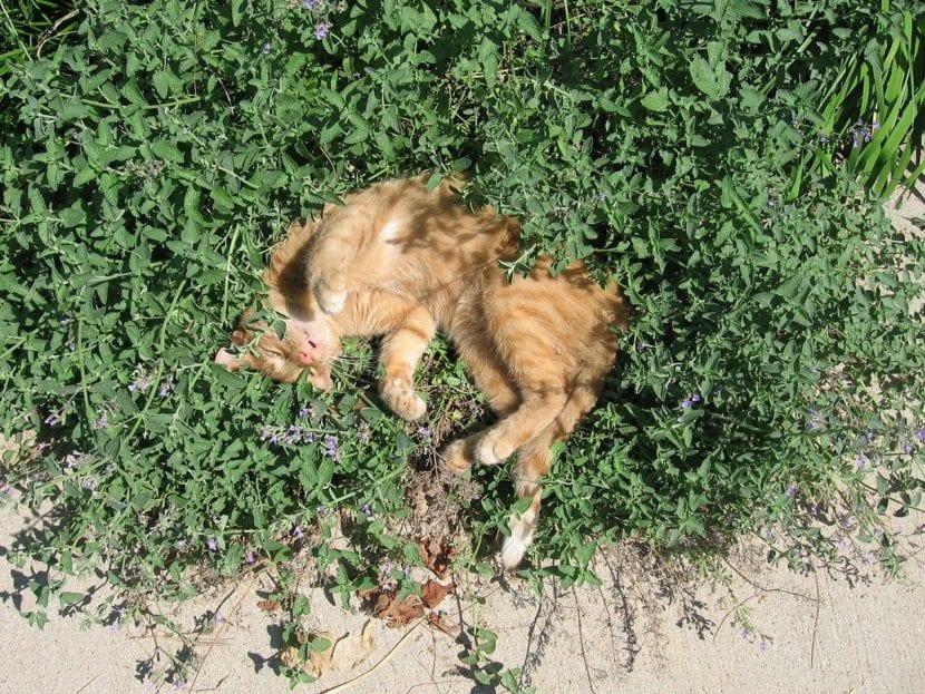 Gato durmiendo en hierba gatera
