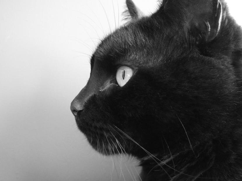 Gato negro de perfil