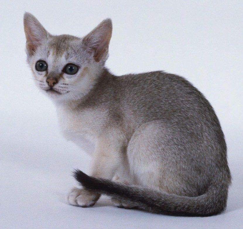 Gato singapur