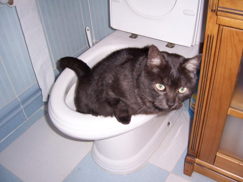 Gato en el wc