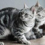 Gatos americanos