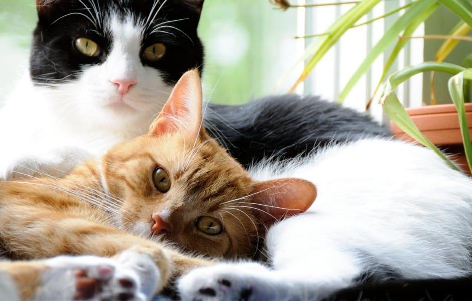 Gatos tumbados