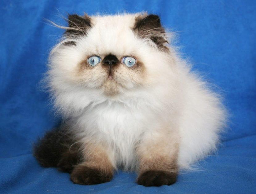 Los gatitos himalayo son muy bonitos