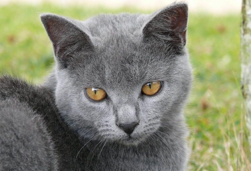 Gato Charthreux