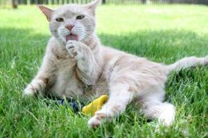 Gato con furminator