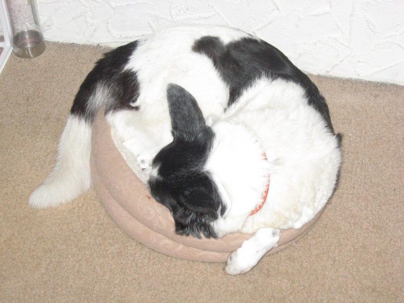 Gato grande en cama pequeña