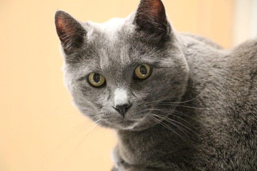 Gato gris viejo