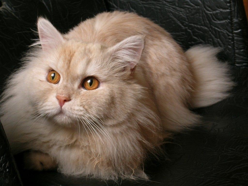 Gato naranja adulto