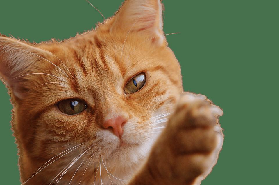 Gato naranja joven