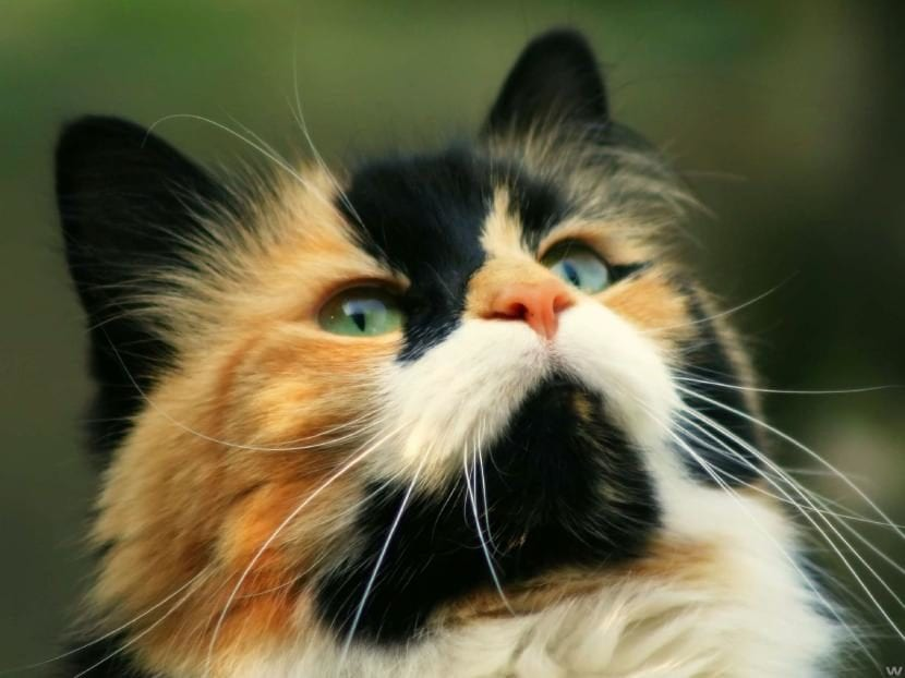 Gato tricolor