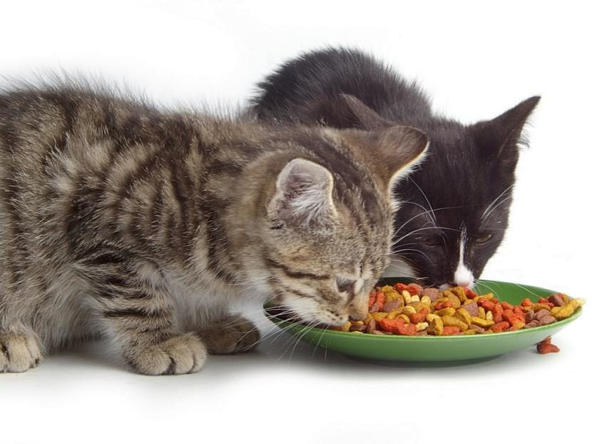 Gatos comiendo pienso
