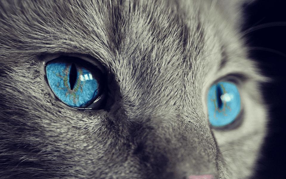 Gato con ojos azules