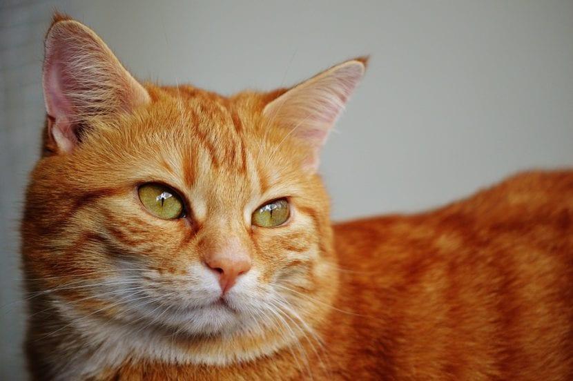 Gato doméstico naranja