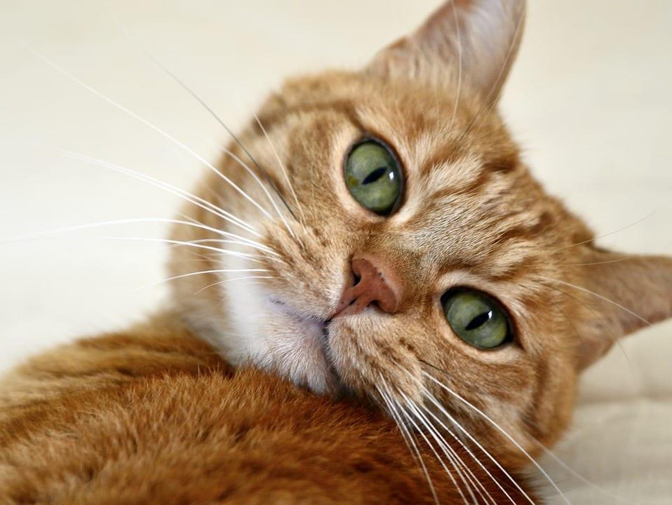 Gato naranja amistoso