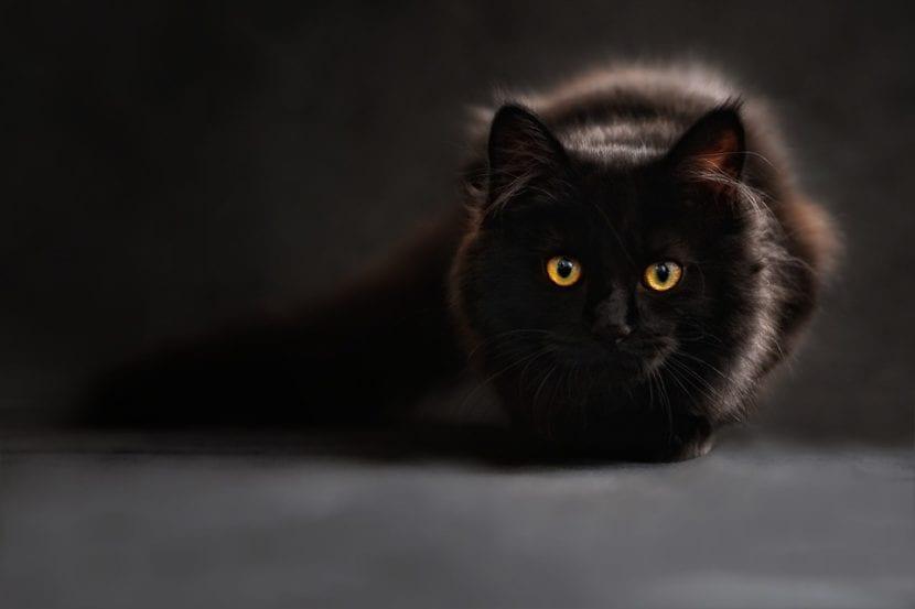 Gato negro de pelo largo