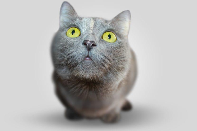 Nariz de gato gris