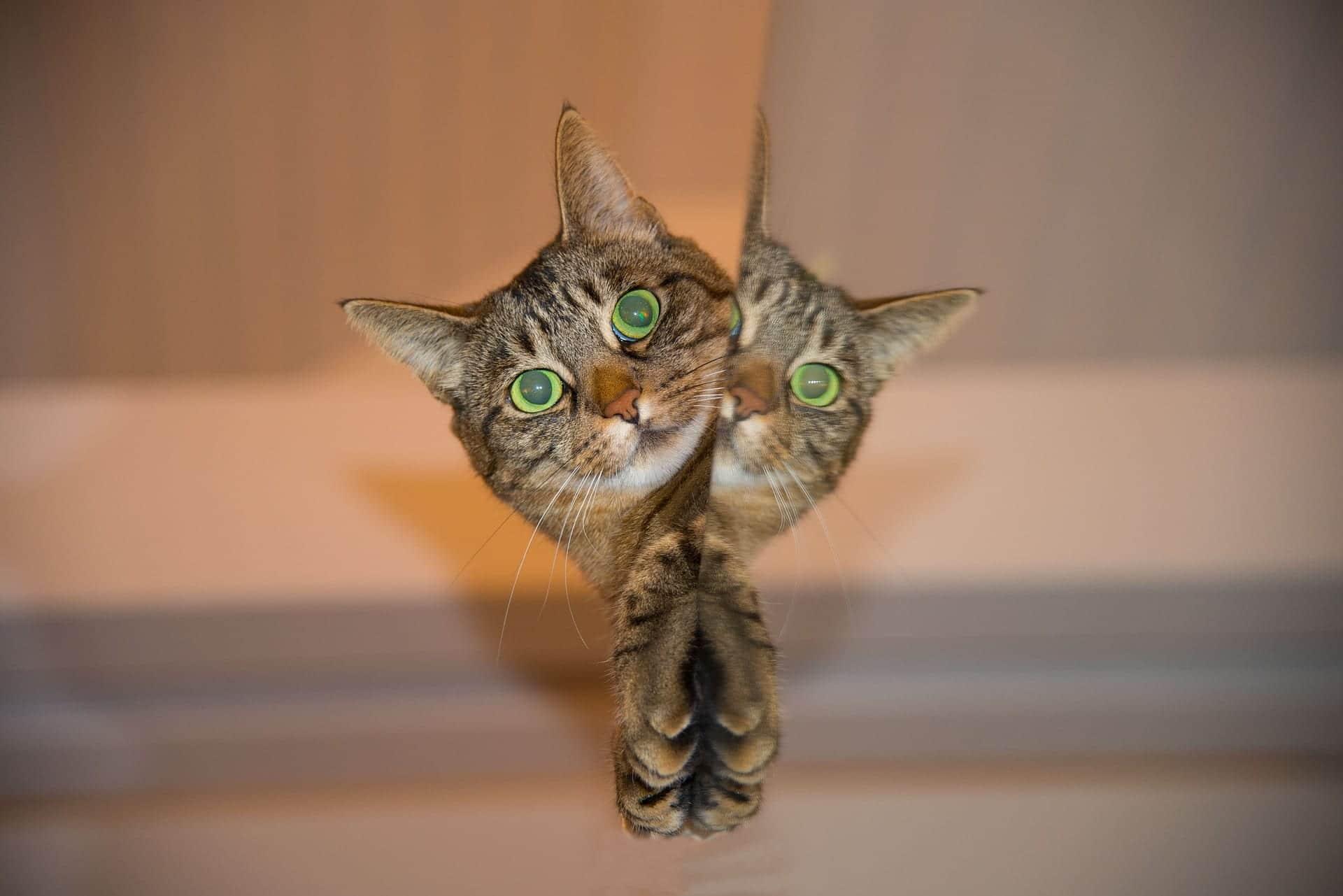 Gato espejo