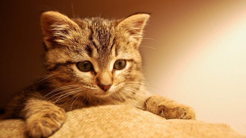 Gatito inteligente mirando