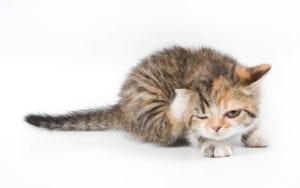 Gato rascándose