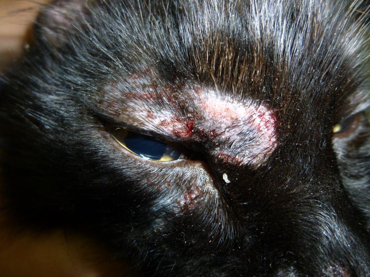 puntos blancos en piel de gato
