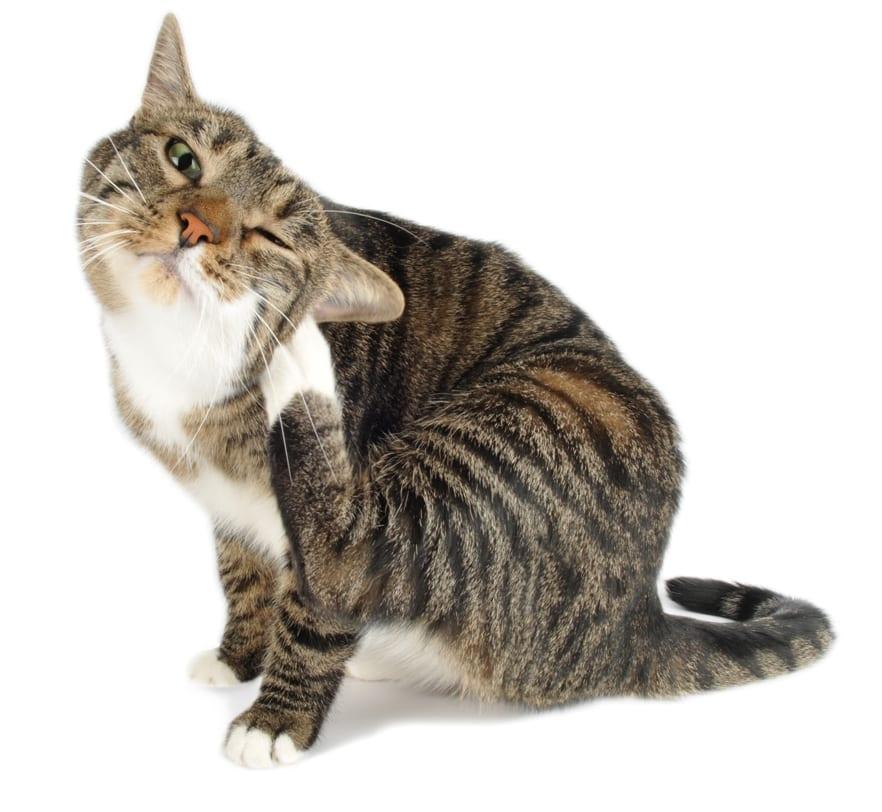 Gato rascándose la oreja
