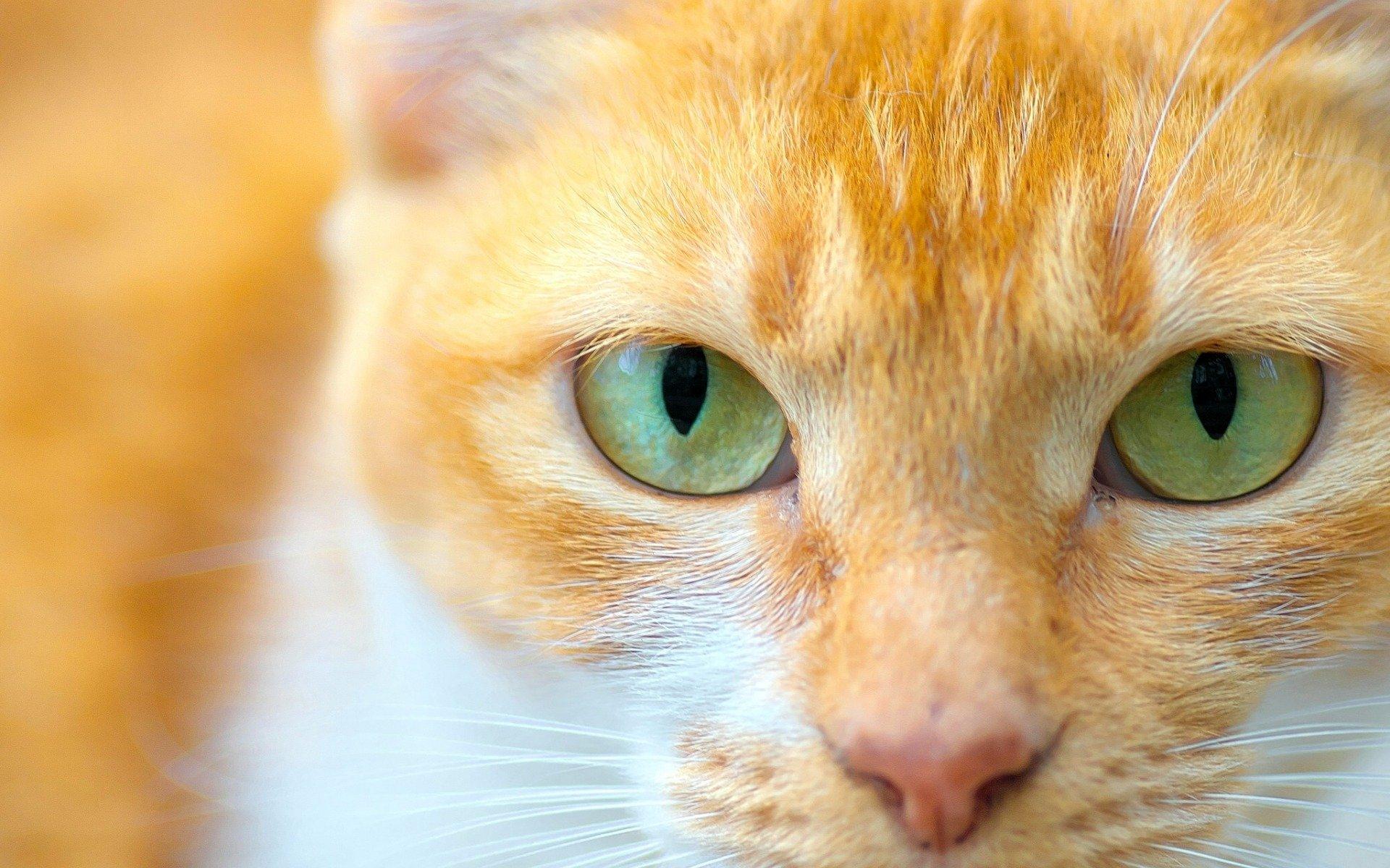 Hay gatos que tienen ojos verdes