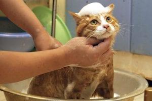 Persona bañando a un gato