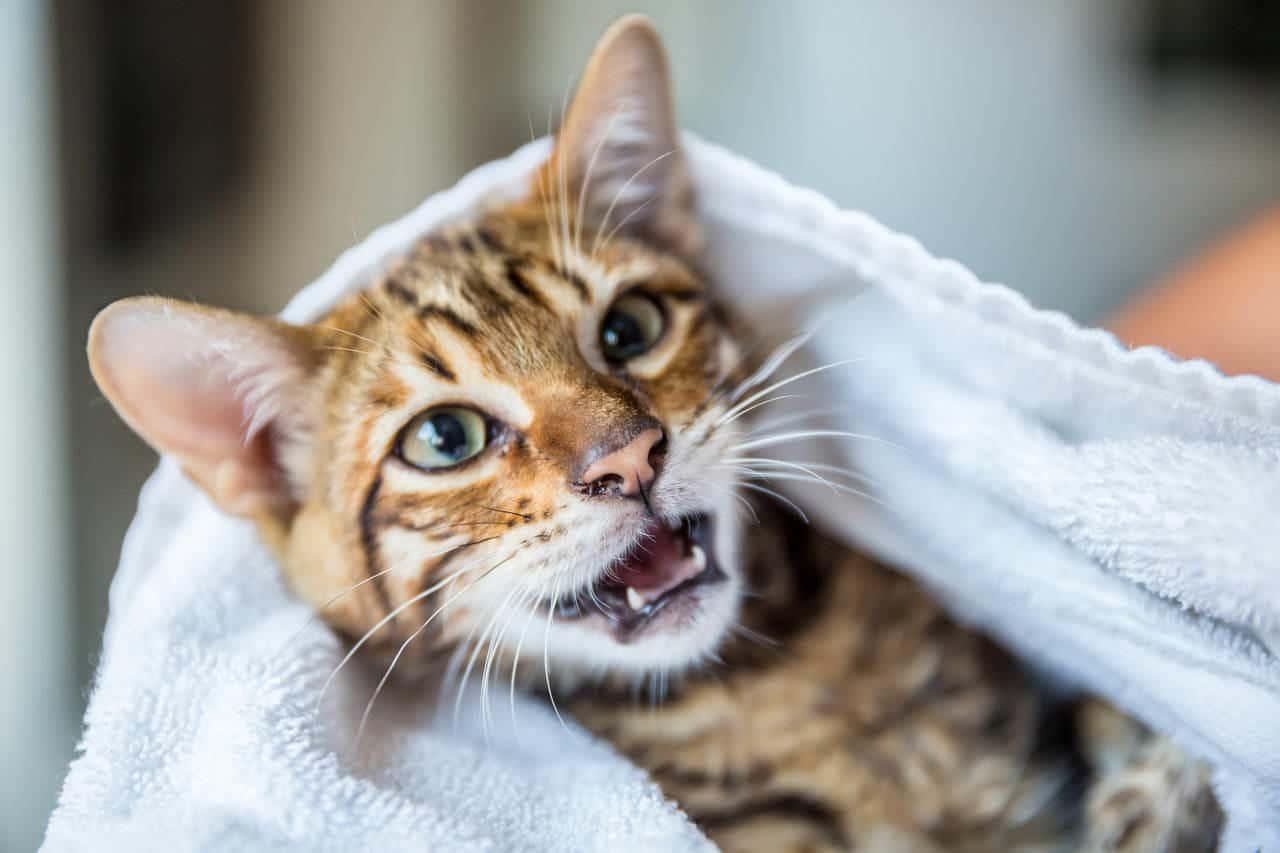 Vista de un gato con sus dientes