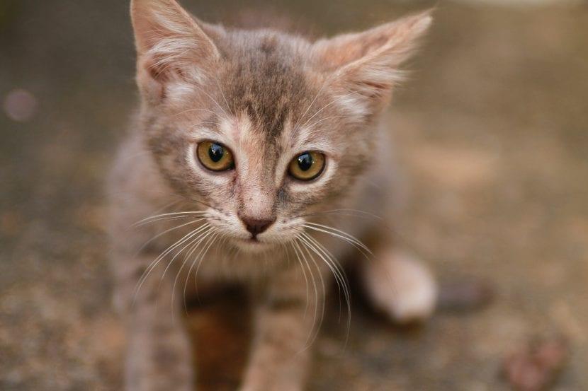 Gatito gris joven