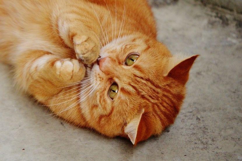 Gato naranja dulce