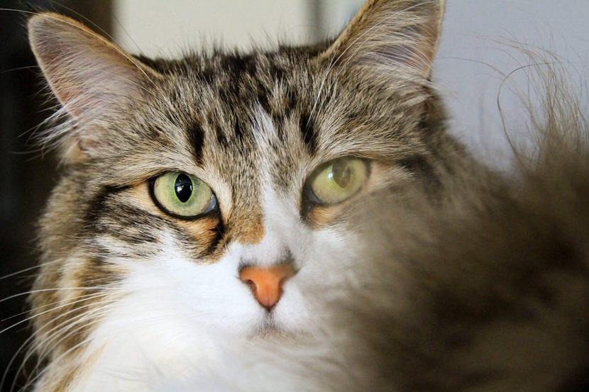 Los gatos pueden bufar por estrés